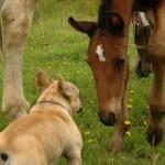 Jak pies z koniem