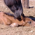 Proces uczenia się – jak koń przyswaja wiedzę? ODCINEK 3 – IMPRINTING