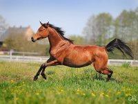 Koń czystej krwi arabskiej – syn wiatru. Dzięki Mahomecie! A Ty podziękuj nam, Polakom.