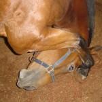 Proces uczenia się – jak koń przyswaja wiedzę? ODCINEK 1 – KOPIOWANIE