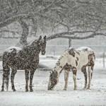 Nie wychodź na dwór, bo się zaziębisz! Nie biegaj, bo się spocisz! – czyli jak dbać o konia zimą