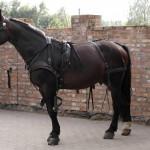 Koń do bryczki czy pod siodło? A może jedno i drugie?